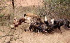 Wild dogs fighting hyena for their impala kill