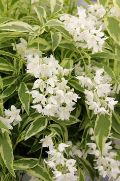 150 best white flowers for my garden images on pinterest white creme fraiche deutzia from proven winners shines with pure white flowers in the spring its deer resistant crisp variegated foliage is attractive all mightylinksfo