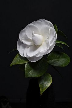 White Camellia | Flickr - Photo Sharing! My favorite flower in the best shot!!!