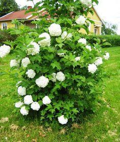 """Snöbollsbuske. Väldigt vacker buske med runda, flata, vita, stora blommor. Därav kallas """"Snöbollsbuske' Ca 1,5 m hög"""