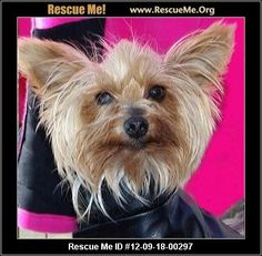 ID: 091612-40Willie (male)  Yorkie    Age: Adult  Compatibility:	 Good with Most Dogs, Good with Adults (Not Kids)  Personality:	 Average Energy, Average Temperament  Health:	 Neutered, Vaccinations Current       Hi! My name is Willie and I am a sweet little Yorkie boy who is 6 years old and I weigh 5 lbs. I have always lived in a cage until I was rescued by a nice lady at an auction and now I have lots to eat, a soft bed, and I'm learning all about life. I need a quiet home with no children…