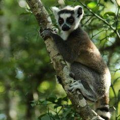 ..Lemur ♡
