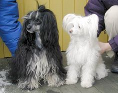 curly Chinese Crested Powder Puff | POWDER Puff
