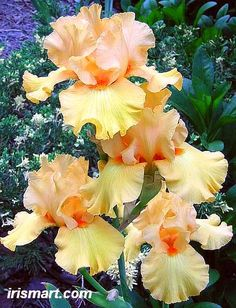 """Mango Passion"" Tall Bearded Iris!"