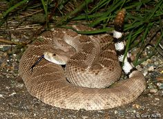 Rattlesnake Sounds and Video