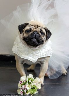 Two PUGS tie the knot in lavish £2,000 dog wedding | Daily Mail Online