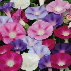 unjardinsostenible.com: Ipomoea hybrida (Batata ornamental) (Ipomea-Gloria... Morning Glory Vine, Morning Glory Flowers, Morning Glories, Garden Seeds, Garden Plants, Fast Growing Climbers, Shades Of Violet, Growing Grapes, Flowering Vines