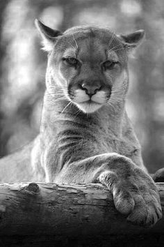 A slightly irritated Cougar...