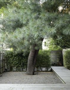 Eastern White Pine Tree Brooklyn By Matthew Williams