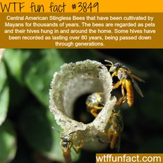 Central American Stingless Bees - WTF fun facts Wtf Fun Facts, True Facts, Funny Facts, Random Facts, Crazy Facts, Random Stuff, The More You Know, Did You Know, Stingless Bees