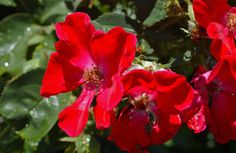 Red velvet; flower garden details; Ocean Park, Oak Bluffs, Martha's Vineyard, Massachusetts, USA.  June 2012.