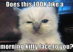 LOL Funny Animal images of the hour AM, Thursday February 2015 PST) – 12 pics I Love Cats, Crazy Cats, Cute Cats, Funny Animal Images, Funny Animals, Animal Memes, Kittens Cutest, Cats And Kittens, Funny Kittens