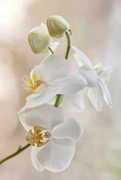 white orchidea