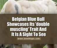This Belgian Blue Bull Has Been Bred Because Of Its Muscles, But Wait Until It Turns To Walk! WHOA!