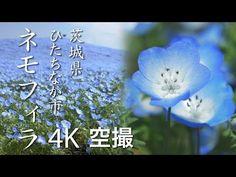 Dica de passeio: Parque Hitachi Seaside e seu encantador carpete de flores   Portal Mie - Notícias e eventos do Japão
