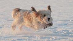 Petit Basset Griffon Vendéen / Vendeen #Hunting #Dogs #Puppy