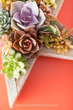 I love Echeveria chroma! It looks especially great in this star planter!
