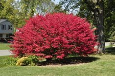 When looking for the best plants to consider when putting together a fall hedge, the burning bush plant must be high on the list. This is a beautiful bush. Burning Bush Plant, Dwarf Burning Bush, Euonymus Alatus, Gardening Websites, Landscape Nursery, Bush Garden, Plant Catalogs, Flowering Shrubs, Small Trees