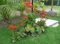 Resultado de imagen para Kalanchoe blossfeldiana