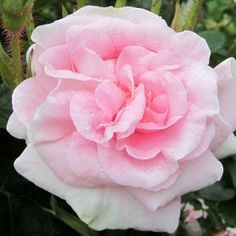 """Great Maiden's Blush rose.  A classic among old garden roses. Magnificently perfumed, flesh pink semi-double 3 1/2"""" blooms (petals 40+) which open flat on a strong growing once blooming bush with healthy grey-green leaves. Once you have smelled its fragrance you will never forget it."""