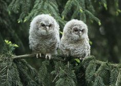 Two baby  snowy owls.