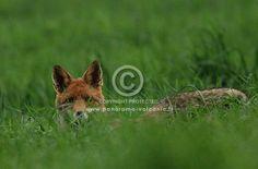 renard roux, vulpes vulpes, photo rené Barrière