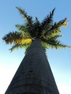 Palm tree - Brazil