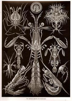 Ernst Haeckel LOBSTER SCHRIMP Art Print by NaturalistCollection
