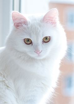 Previous pinner wrote, and I agree!:  Love the delicate pink of the ears and nose and the beautiful green eyes.