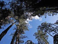 Tall Trees Walk at Mt Field National Park, Derwent Valley.