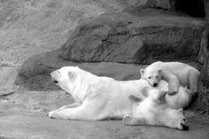 Polar Bear with Cubs | File:Polar bear with cubs.jpg - Wikimedia Commons