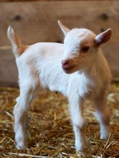 A baby Nigerian dwarf goat stands in a pen at the Columbian Park Zoo Tuesday, June 26, 2012.