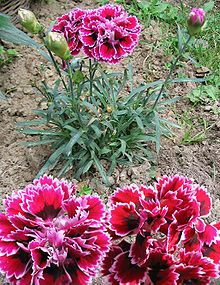 Dianthus caryophyllus, carnation or clove pink, is a species of Dianthus. It is probably native to the Mediterranean region but its exact range is unknown due to extensive cultivation for the last 2,000 years.