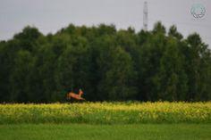 Speedy  #naturalbeauty #natural #nature #fotography #foto #sarna #photography #beauty #forest #summer #mammal #poland #polska_w_obiektywie #LasyPaństwowe #lubiepolske #igerspoland #supernatural #super_polska #green #roe #greatshot #wood Natural Beauty from BEAUT.E