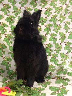 Handsome black bunny [fluffy]