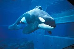 """Keiko(aka 'Willy'):                                          """"Free Willy"""" was a 1993 movie about an unconventional friendship between a young boy and a captive orca that's forced to perform at a water park. In the movie, the title role was played by Keiko the orca (pictured), who really was captured from the wild as a young whale and brought to live at an aquarium in Iceland."""