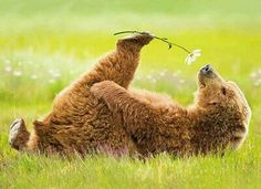 brown bear relaxing lying down smelling flower cute animals wild wildlife species planet earth nature pics pictures photos images Animals And Pets, Baby Animals, Funny Animals, Cute Animals, Wild Animals, Baby Pandas, Spring Animals, Pretty Animals, Beautiful Creatures