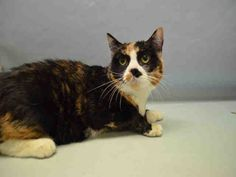 "PEPPER - A1075235 - - Manhattan  Please Share:   ***TO BE DESTROYED 06/04/16*** DO NOT MISS OUT ON THIS LADY! PEPPER is an absolutely STUNNING 8 year old SPAYED calico cat, who is full of personality! She was dumped off at the ACC by her ""owner"" who had her from the time she was a kitten, and now her son has suddenly developed ""allergies"". Despite being an irresponsible pet owner, they had nothing but good things to say about Pepper. She is full of p"