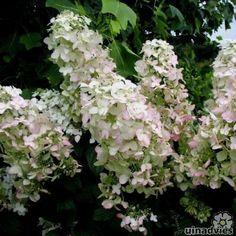 Hydrangea paniculata 'pink lady' verkleurd naar roze wordt max 1,5 mtr
