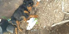 People Thought Rottweiler Abandoned At Dumpster Would Never Walk Again - The Dodo