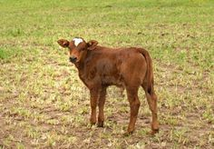 spring time young brown calf australian beef cattle Stock Photo