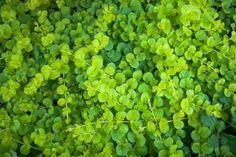 グランドカバーにおすすめな常緑で日陰に強い植物10選! - horti 〜ホルティ〜