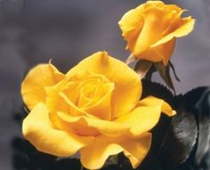 "Hybrid Tea Roses / Midas Touch™    Very fragrant, striking golden yellow 4"" blooms (petals 20+) on a well branched upright bush. A rose of exceptional vigor and non stop masses of bloom. An 'All-American' winner. Semi-glossy dark green foliage on a continual blooming plant."