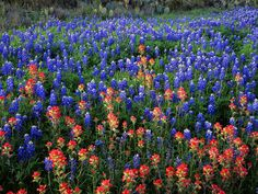Texas blue bonnets and wild flowers so beautiful