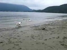 .Jacks on the beach playing in the water, too cute!