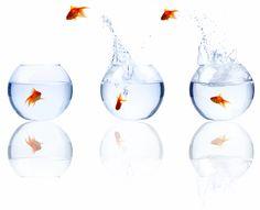 Google Afbeeldingen resultaat voor http://www.professionalminds.co.uk/goldfish%2520jumping%25203%2520bowls%2520-%2520high%2520resolution.jpg
