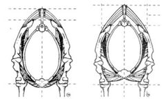 Credit: Sandy Rabinowitz TheseThese illustrations show a cross section of the horse's torso between his shoulder blades. The left illustration depicts the torso and withers dropped. The right illustration shows the torso and withers lifted. Note the different in the top line.