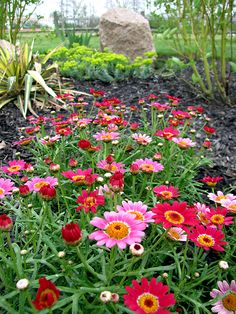 cool annual - Argyranthemum frutescens 'Madeira' (cherry shades collection)