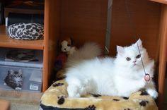 Persian cat, pet, adorable, family