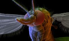 Malaria may change the way people smell.. alluring to mosquitoes
